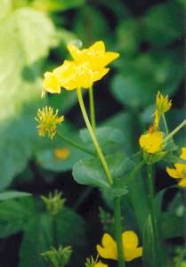 Fleurs des zones humides